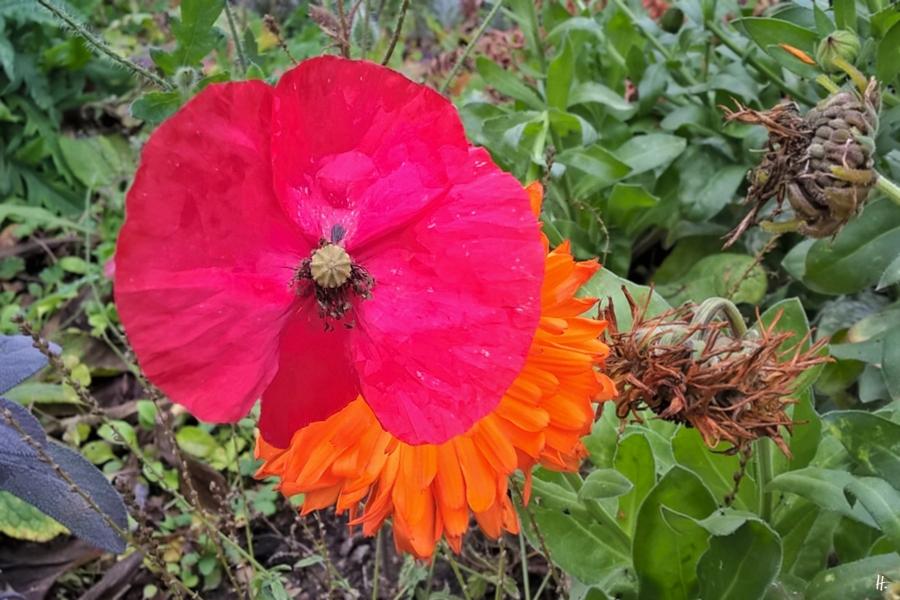 2018-11-20 Lüchow, Garten vormittags, Klatschmohn (Papaver rhoeas) + Ringelblume (Calendula officinalis)